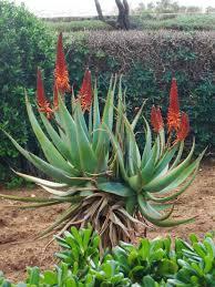 Bangladeshi Malta Plants