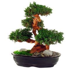 Green Bonsai Plants