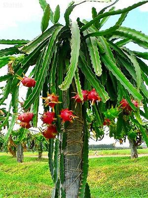 Hybrid Dragon Fruit Plants