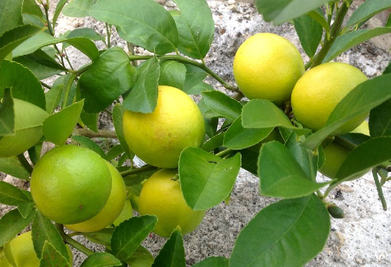 Indian Seedless Lemon Plants