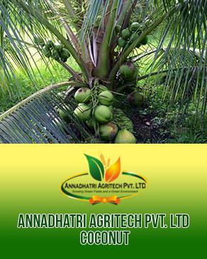Keralan Coconut Plants