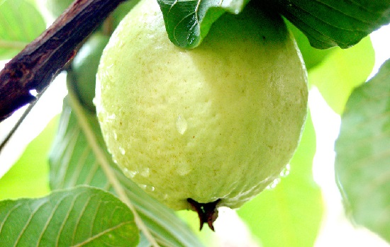 Punjabi Guava Plants