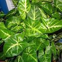 Syngonium Plants
