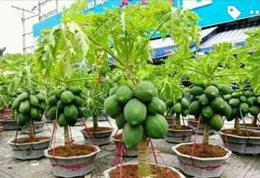 Thai Papaya Plants