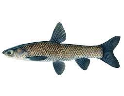 Live Black Carp Fish