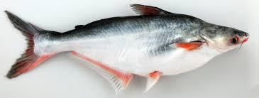 Live Pangasius Fish