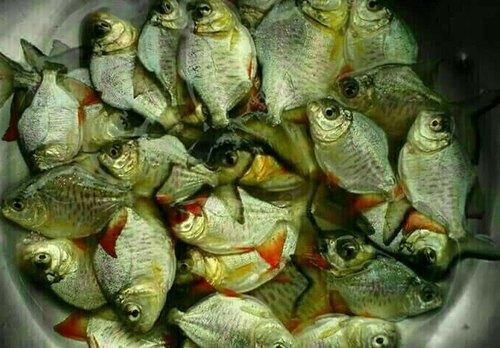 Roopchand Fish Seeds