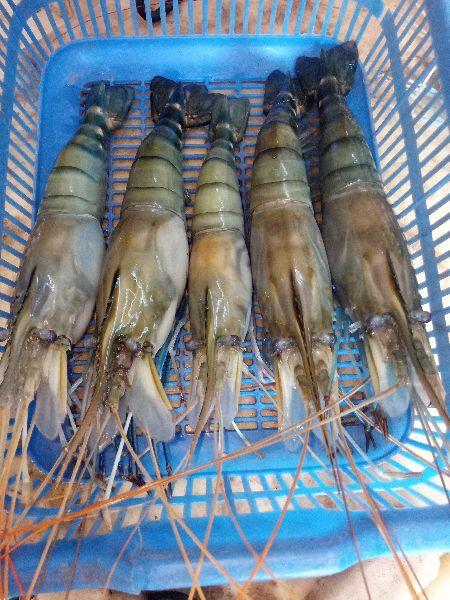 Scampi Fish