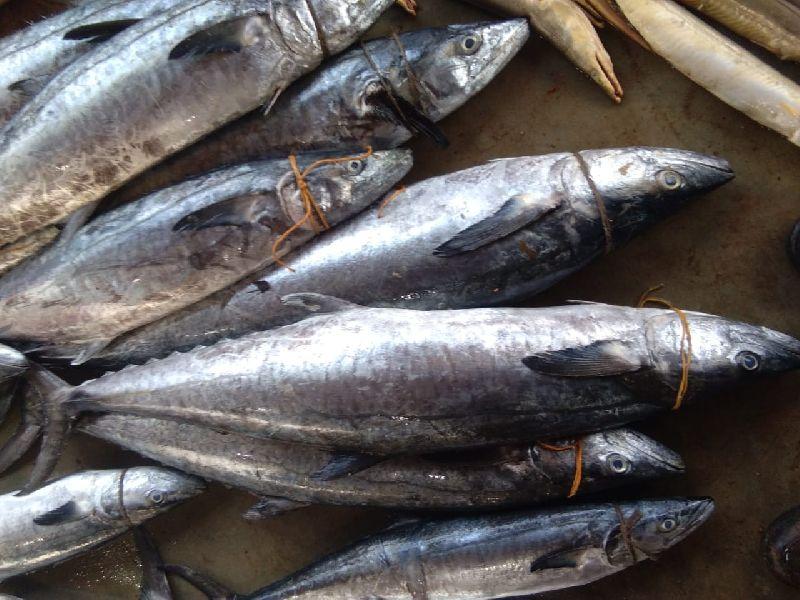Surmai Fish