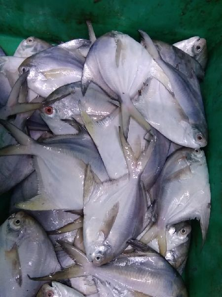 White Pomfret Fish