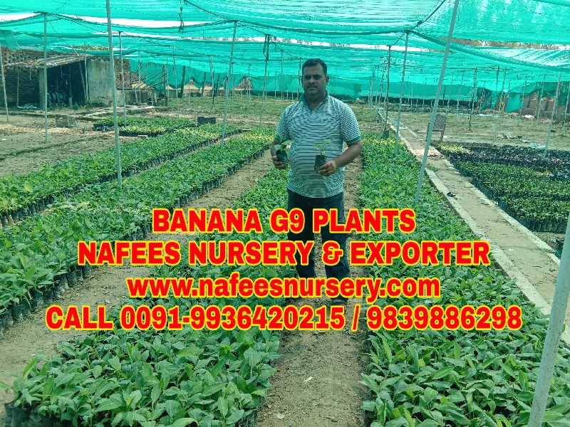 Banana Dwarf Plant
