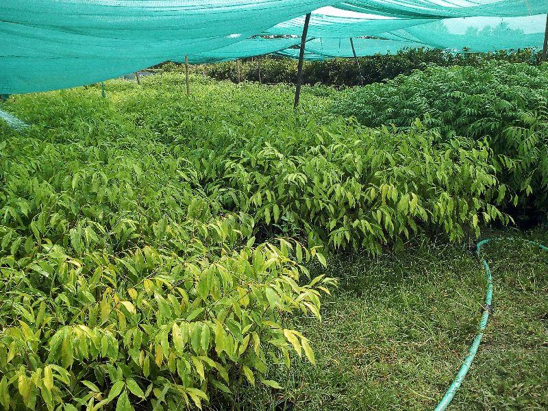 Aquilaria malaccensis Plant