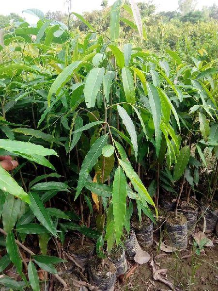Ashoka Plants