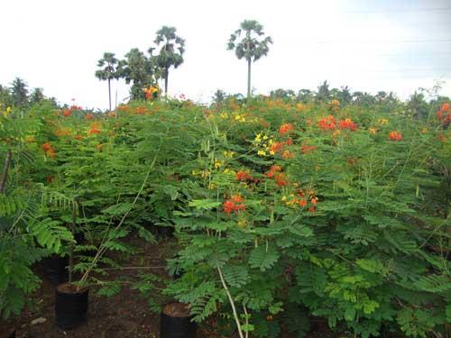 Caesalpinia Pulcherrima Plant