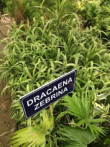 Dracaena Zebrina Plant