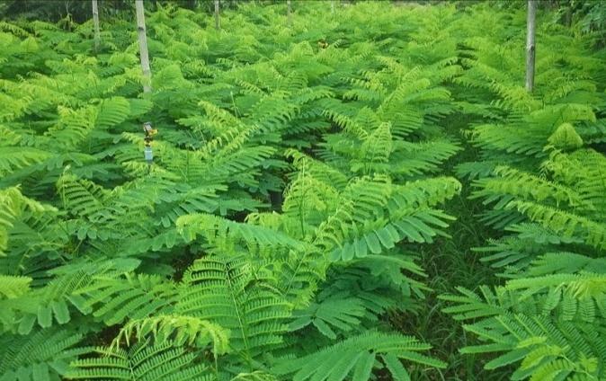Gulmohar, Delonix Regia Plant