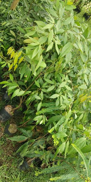 Indian Cinnamon Plant