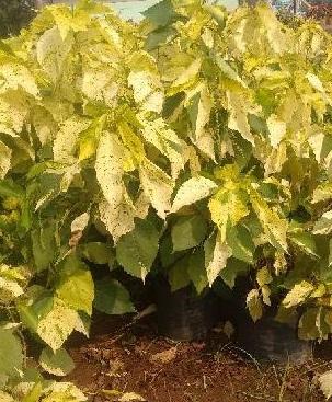 Java Acalypha Plant