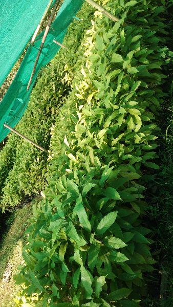 Titachapa Plant