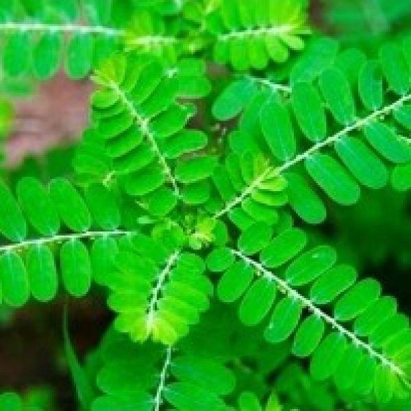 Bhui Amla Leaves