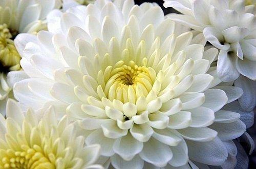 Fresh Purnima Chamanthi Flower