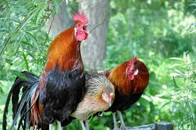 ORGANIC Country Poultry Chicken