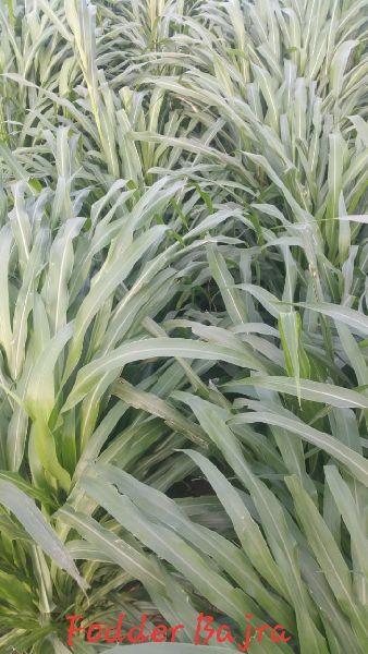Fodder Millet