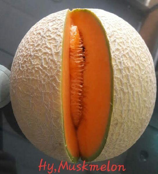 Hybrid Muskmelon