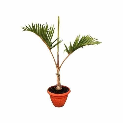 Deck Palm Plant