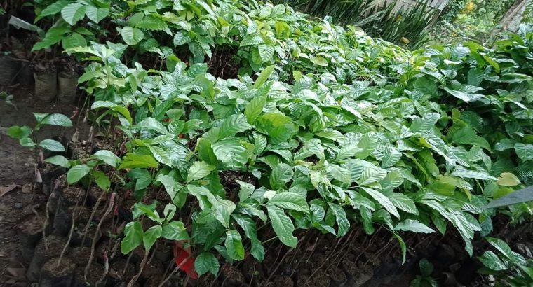Coffee Rubosta Grafted plant