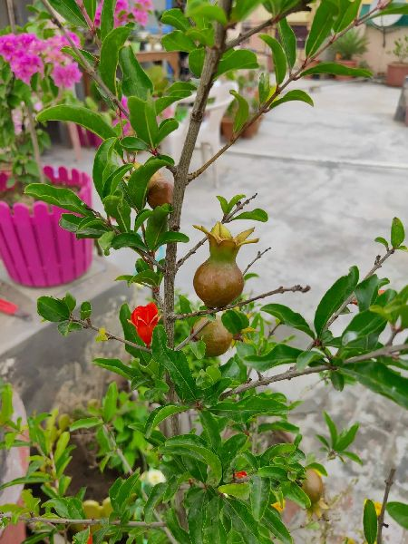Dwarf Pomegranate Plant's