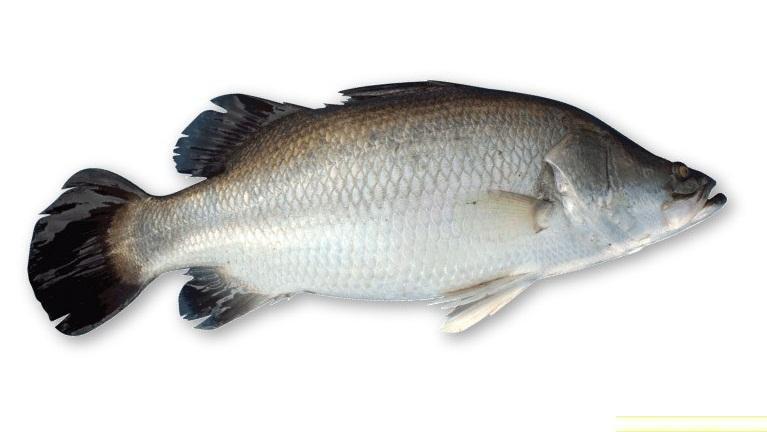 Fresh Water Bass