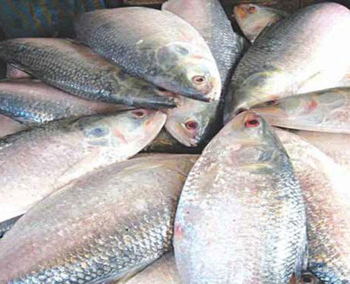 Sea Hilsa Fish