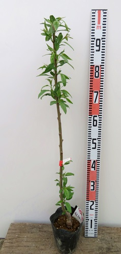 Almond Grafted Plant