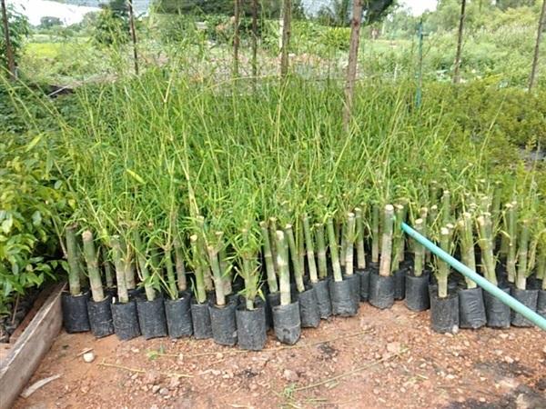 Bamboo Balccoa Plant