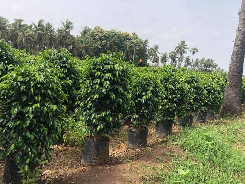 Black Ficus Plant