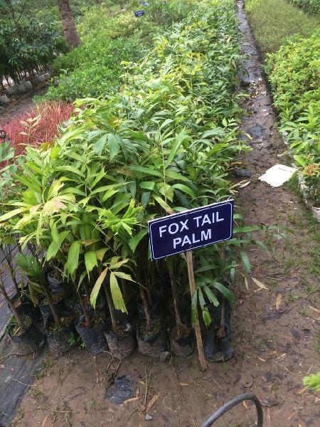 Fox Tail Palm Tres
