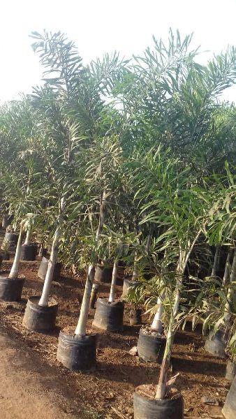 Fox Tails Palm Tree