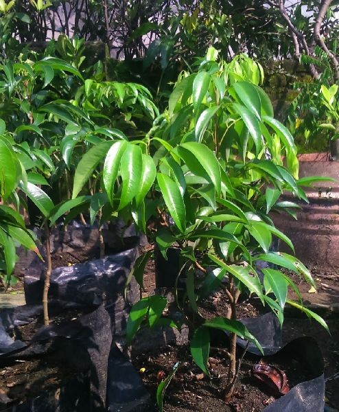 Litchi Seedless Plant's