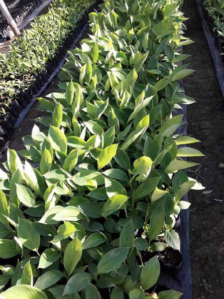 Malbug Banana Plant