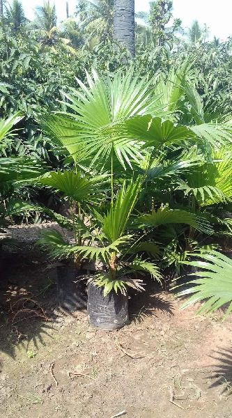Umbrella Palm Tree