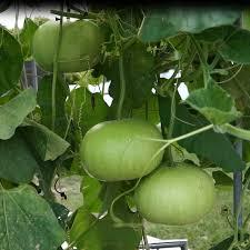 Hybrid Round Gourd