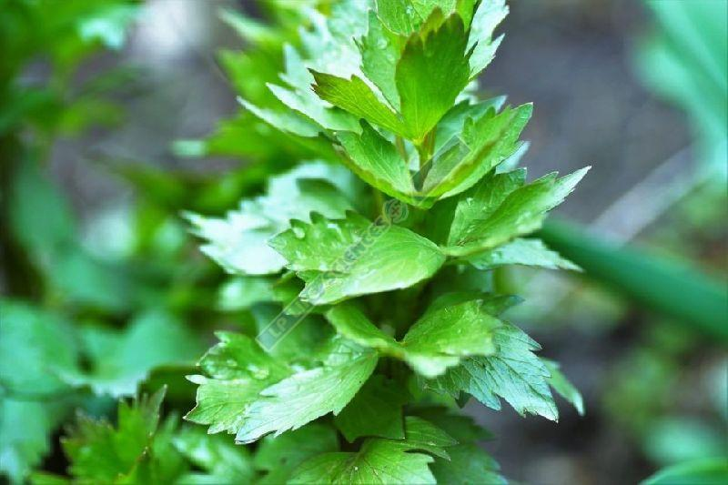 Lovage Extract