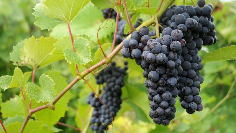 Fresh Black Grapes