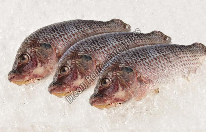 Frozen Catla Fish