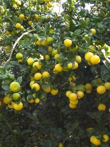 Tissue Culture Kagzi Lemon Plant