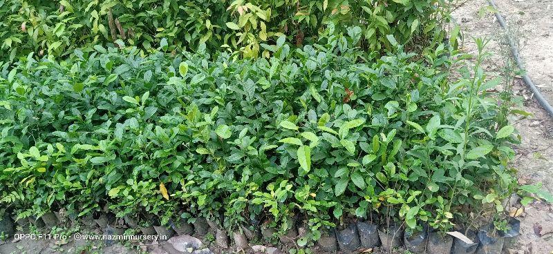 Assam Lemon Seedlings