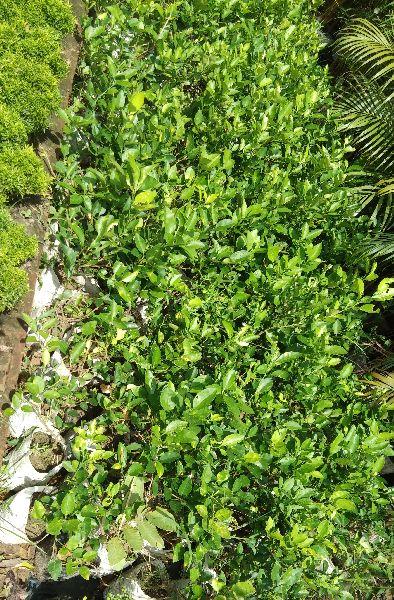 Chinese Orange Plant