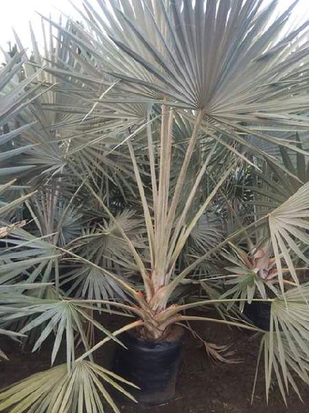 Dishmareca Plant's