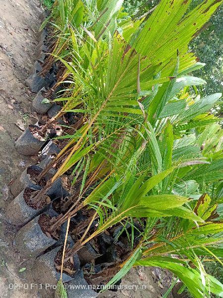 Dwarf Coconut Plant's